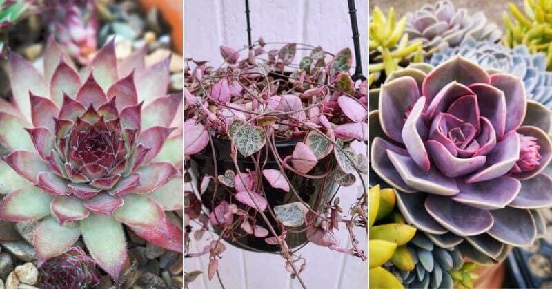 14 Sensational Purple Succulents You Will Love