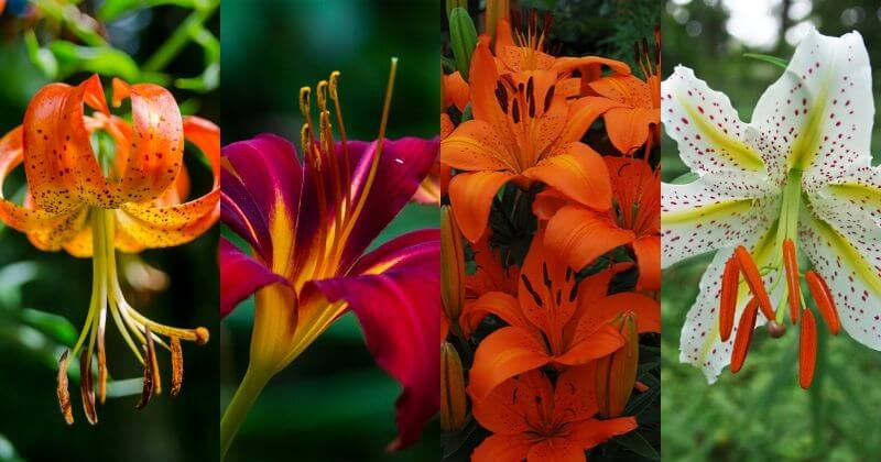 30 Different Types Of Lilies With Pictures How To Grow Them