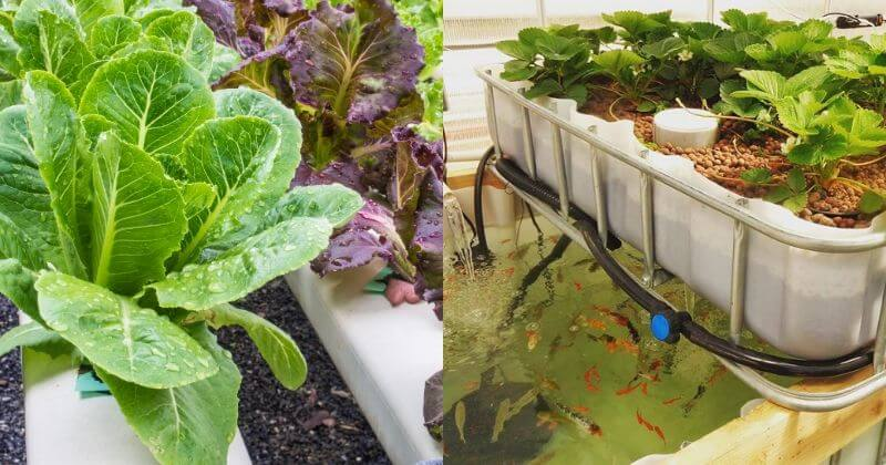 Aquaponics Vs. Hydroponics_ What's The Difference And Which Is Better