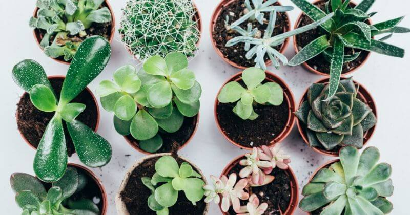 24 Best Low Light Succulents That You Can Grow Indoors