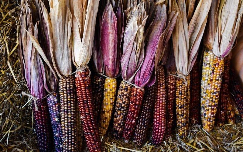 11 Best Sweet Corn Varieties To Grow In Your Garden