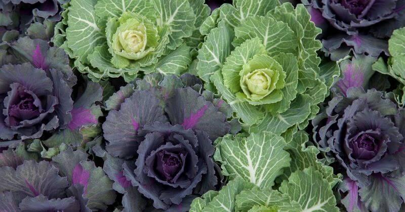 14 Tasty Cabbage Varieties for Your Garden