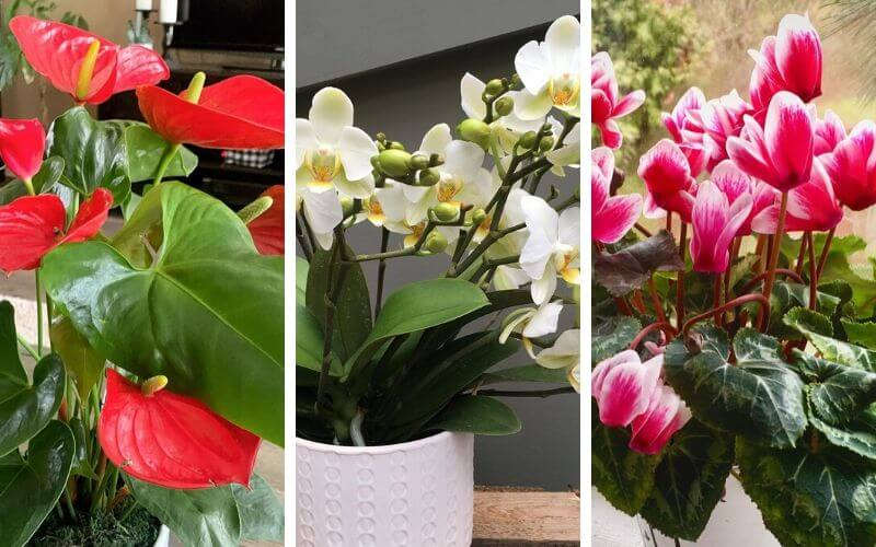 12 Low Light Flowering Indoor Plants To