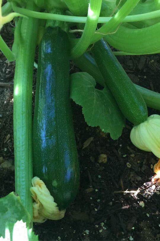 Planting Zucchini in Pots