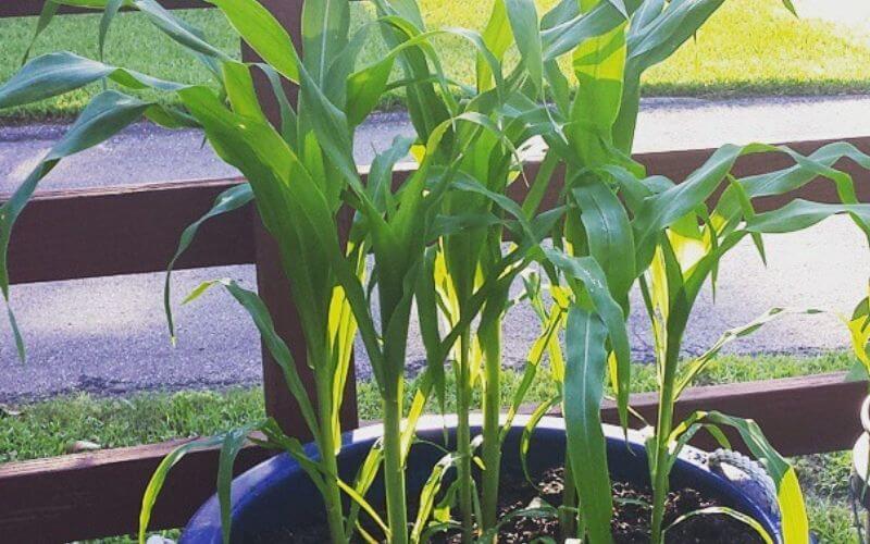 Start Growing Corn in Pots (2)