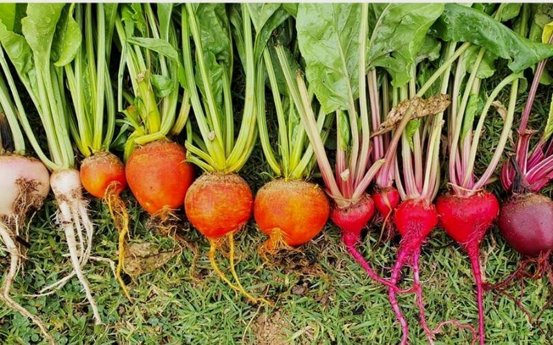20 Showstopping Beet Varieties for Your Garden