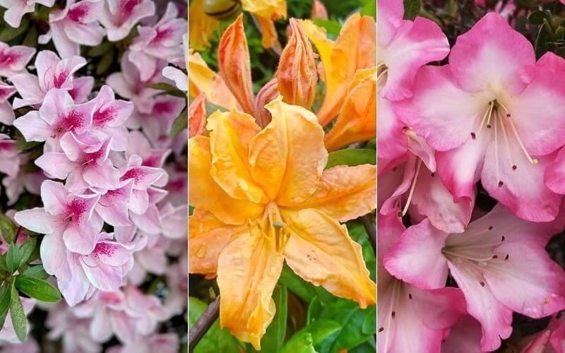 15 Different Types of Azaleas For Your Garden