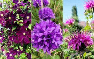 Purple Perennial Flowers