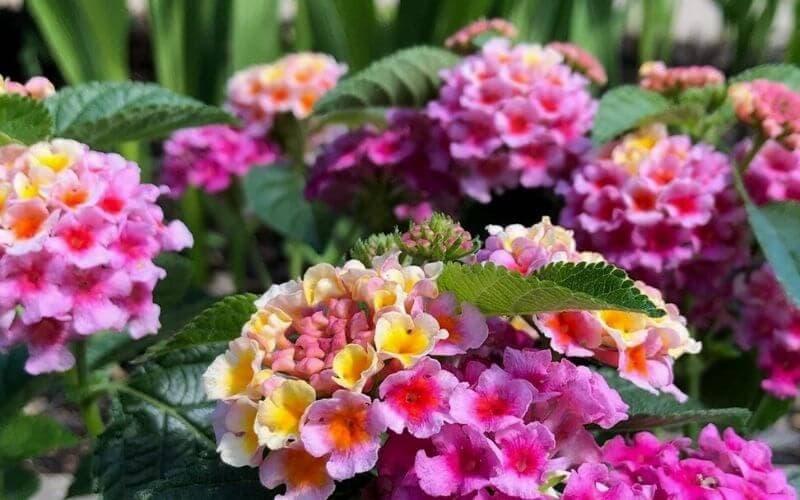 10 Of The Best Lantana Flower Varieties For Your  Garden