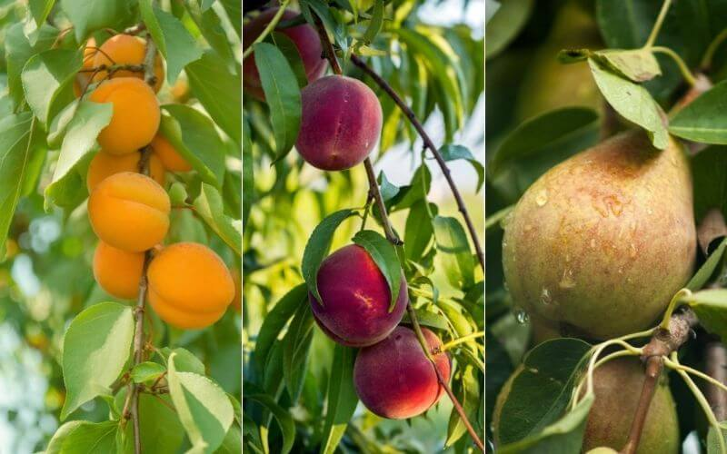 10 Fastest Growing Fruit Trees For Your Backyard Orchard Gardening Chores