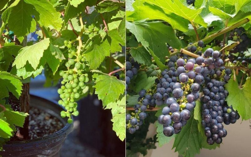 Growing Grapes in Containers: How to grow grape vines in pots