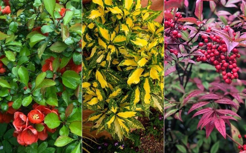 50 Different Types Of Shrubs And Bushes With Pictures & Care Guide