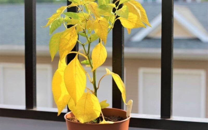 Yellow Leaves on Pepper Plants