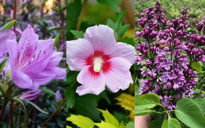 14 Gorgeous Purple Flowering Shrubs & Bushes to Plant in Your Garden