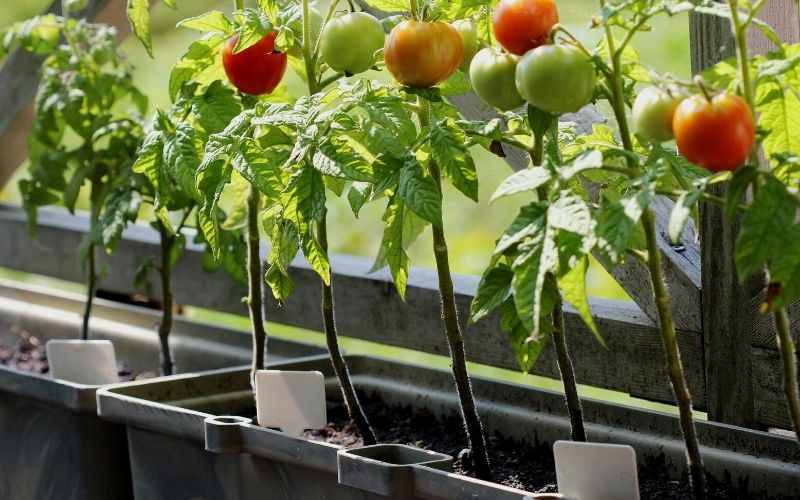 Best Tomatoes for Containers And  Tips for Growing Them in Pots