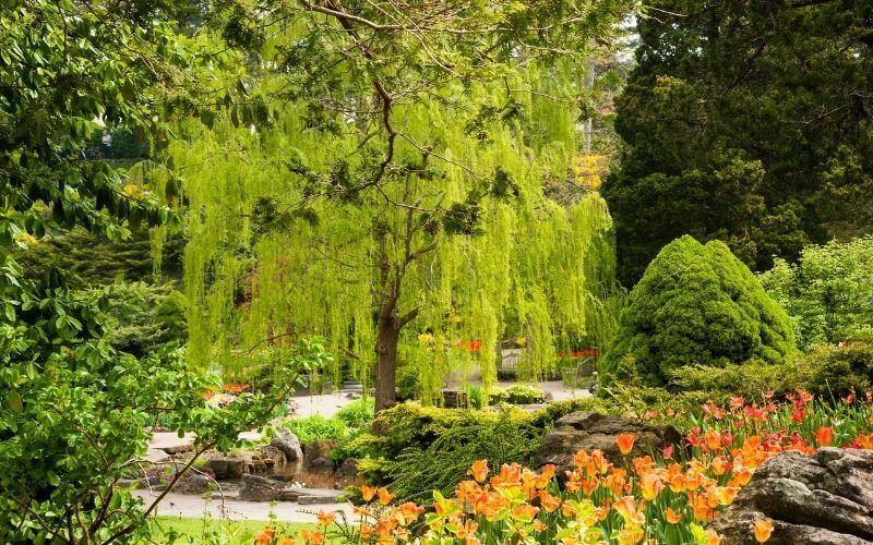 13 types of willow trees And Bushes With Photos for Easy Identification