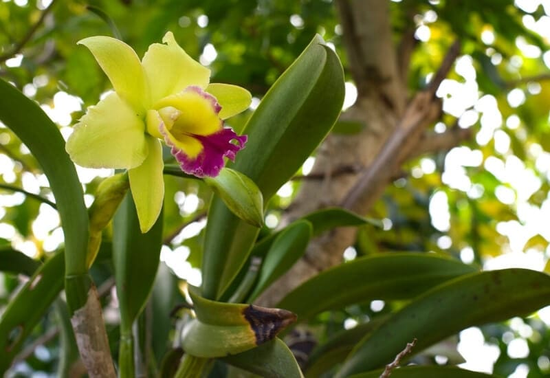 Orchid Leaves Limp
