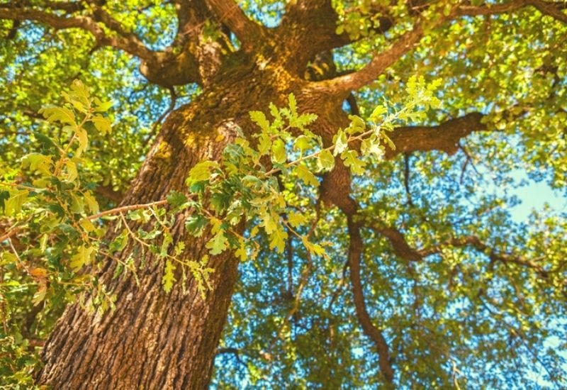 19 Different Types of Oak Trees With Photos for Identification