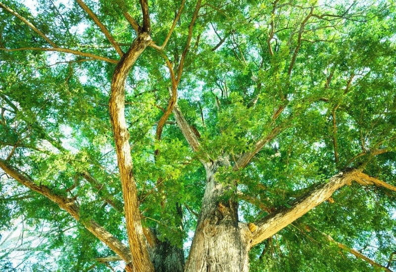 Different Types Of Evergreen Trees (With Pictures) Identification Guide