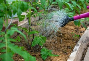 Watering Tomatoes: When, How Much & How Often To Water You Tomato Plants