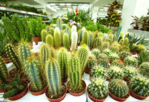 How Fast Will a Cactus Grow and How to Make it Grow Faster