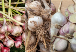 12 Types of Garlic You Can Grow in Your Vegetable Garden