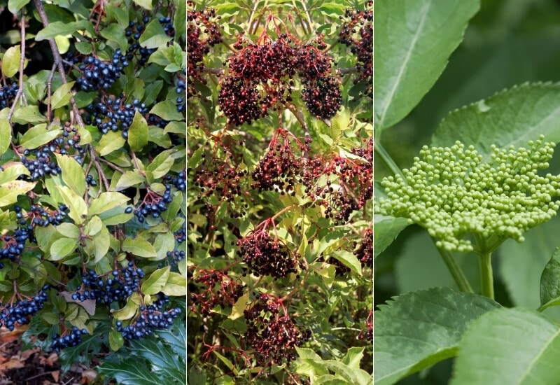 14 Elderberry Bush Varieties That Are Perfect For Your Backyard or Landscape