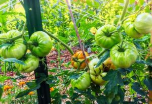Beefmaster Hybrids – How To Grow Beefmaster Tomato Plants In Your Garden