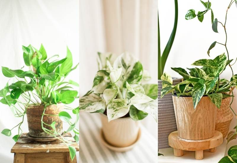 Types Of Pothos: Different Varieties Of Pothos And How To Tell Them Apart