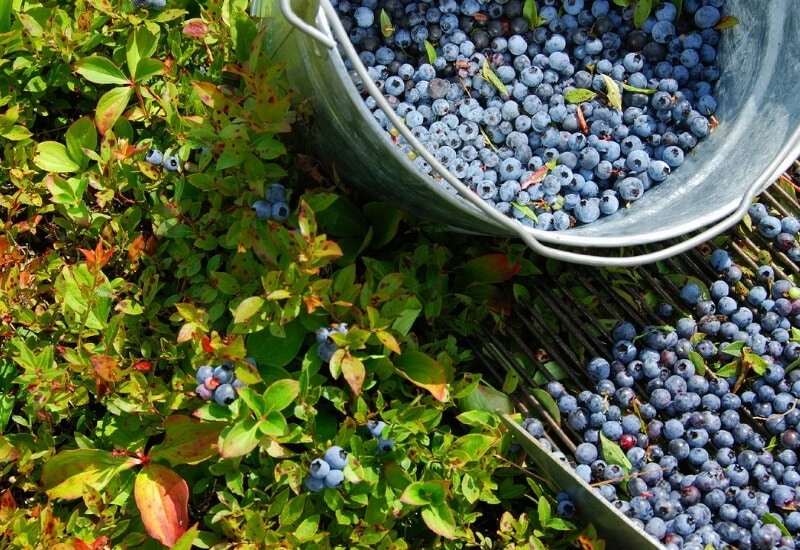 10 Of The Best Blueberry Varieties For Home Gardeners