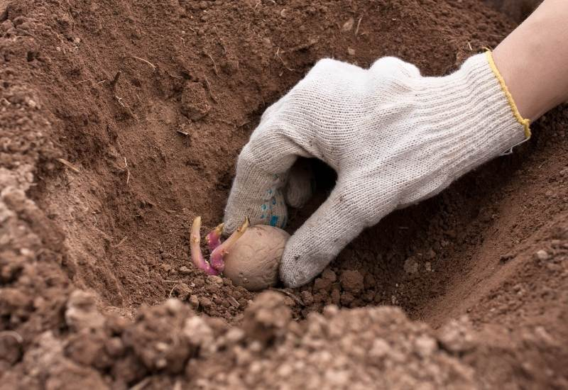 How Deep To Plant Potatoes In Trenches, Garden Bed, And Containers