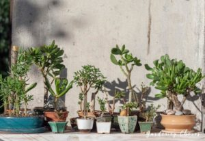 Types Of Jade Plants (Crassula Succulent) & How To Care For Them