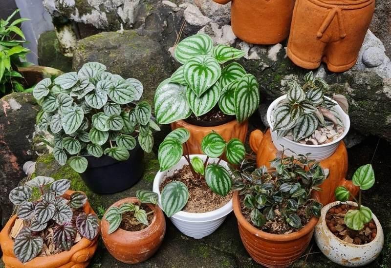 Types Of Peperomia Plants