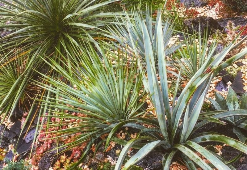 18 Unusual Yucca Plant Varieties With Care Tips