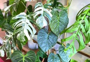 20 Types Of Philodendron To Add To Your Houseplant Collection
