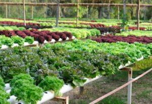 BEST VEGETABLES for HYDROPONICS