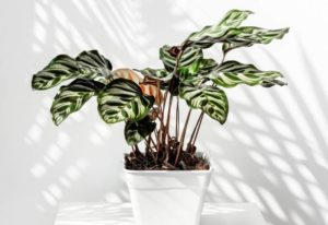 How To Care For The Peacock Plant (Calathea Makoyana)