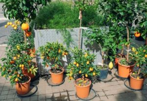 How To Grow And Care For A Potted Lemon Tree
