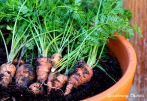 How To Successfully Grow Carrots In Containers