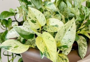 Marble Queen Pothos Care Guide: Devil's Ivy Plant Growing Information And Tips