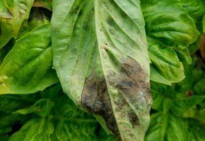 Basil Leaves Turning Black: Identifying And Treating Black Spots On Basil