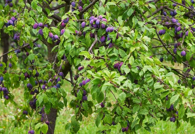 15 Best Fruit Trees And Berries To Grow In The Shade