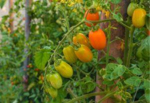 The Roma tomato in an organic farm