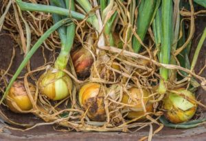 How And When To Harvest Onions Plus Curing For Long Term Storage