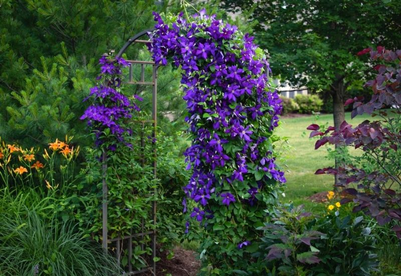 20 Gorgeous Shade-Tolerant Flowering Vines To Add Vertical Color And Texture To Your Shady Garden