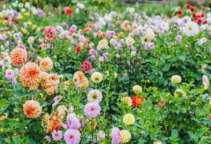 Dahlia Varieties - Understanding Different Types Of Dahlia Flower Classifications And Formations