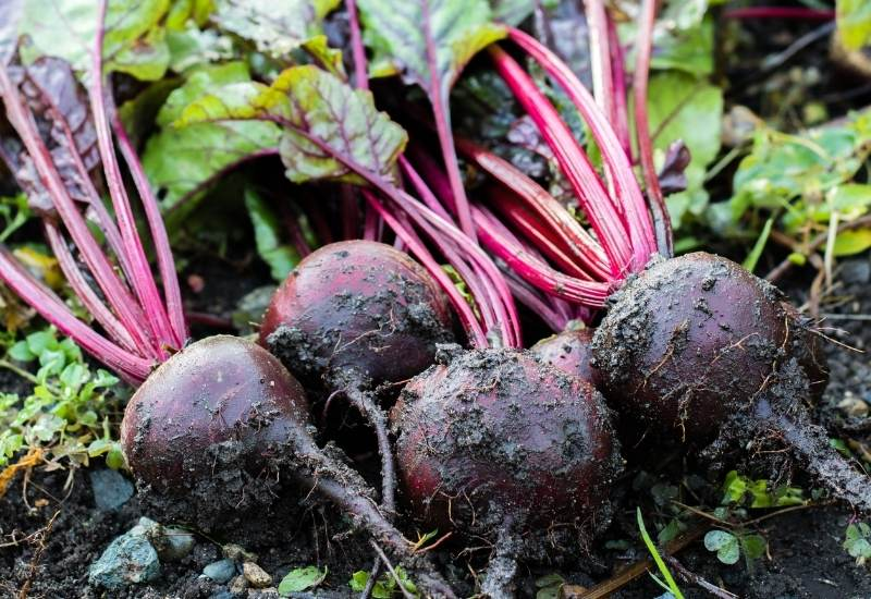 How And When To Harvest Beets Plus Tips For Storing Beets