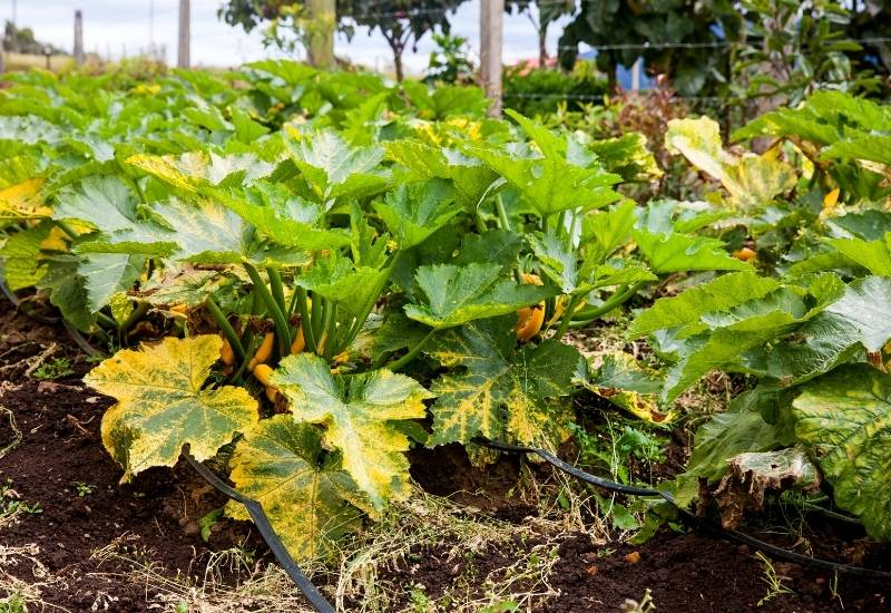 6 Reasons Zucchini Leaves Turn Yellow And What To Do About It