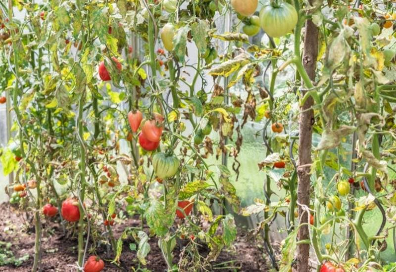 Why Are My Tomato Plants Wilting?