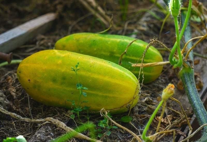 overripe cucumbers. yellow cucumbers bad